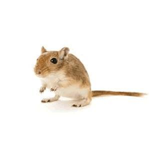Gerbils, Rats and Mice
